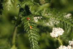 Two perfectly red ladybirds on a plant stock photo