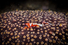 Two Periclimenes imperator Emperor shrimp Royalty Free Stock Image