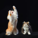 Two persian cats of different coloring. Red big persian cat and dark persian little kitten Stock Photography