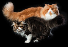 Two persian cats of different coloring. Red big persian cat and dark persian little kitten Royalty Free Stock Image