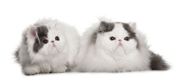 Two Persians (4 monhs old) Stock Photography