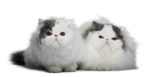 Two Persians (4 monhs old) Royalty Free Stock Photos