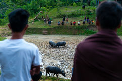 Two person from behind watching two buffalos in. Two person from behind watching two buffaloes in the field fighting at a funeral in Tana Toraja, Sulawesi Royalty Free Stock Photography