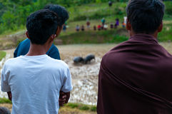 Two person from behind watching two buffalos in. Two person from behind watching two buffaloes in the field fighting at a funeral in Tana Toraja, Sulawesi Royalty Free Stock Image