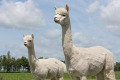 Two peruvian alpacas in an animal park Stock Photos