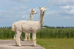 Two peruvian alpacas in an animal park Royalty Free Stock Photo