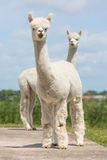 Two peruvian alpacas in Dutch animal park Royalty Free Stock Photos