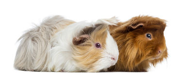 Two Peruvian Guinea Pigs, isolated Stock Images