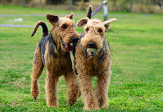 Two pet Airedale Terrier dogs playing outdoors with a ball on green grass Royalty Free Stock Image