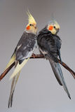 Two pet birds cockatiel Stock Image