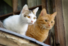 Two pet cats. Staring at the people at the window Royalty Free Stock Photography