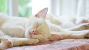 Two pet cute kitten funny sleeping on the table slow motion video stock footage
