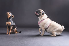 Two pet dogs of different breeds staring diagonally upwards with intent Royalty Free Stock Images