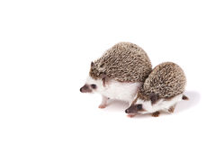 Two pet hedgehogs. On an isolated white background Royalty Free Stock Photos