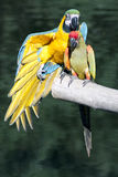 Two pet parrots on a branch Royalty Free Stock Photography