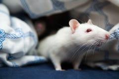 Two pet rats closeup photo Stock Photography