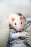 Two pet rats Stock Photography