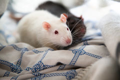 Two pet rats Royalty Free Stock Photos