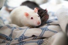 Two pet rats Royalty Free Stock Photos