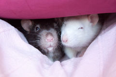 Two pet rats. Two cute pet rats resting in a blanket Stock Image