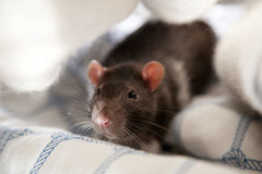 Two pet rats Stock Images