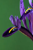 Two petals. Of harmon iris Royalty Free Stock Photography
