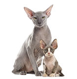 Two Peterbald sitting and looking at the camera Stock Photo