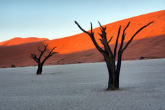 Two Petrified Tree Against Red Dunes Royalty Free Stock Photo