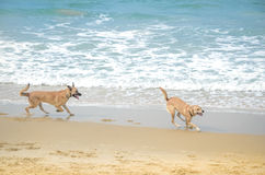 Two pets playing near sea, dogs beach Royalty Free Stock Images