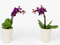 Two Phalaenopsis orchid potted isolated Stock Image
