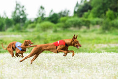 Two Pharaoh Hounds lure coursing competition. At chamomile field Royalty Free Stock Images