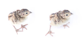 Two Pheasant chicks isolated on white Royalty Free Stock Photography