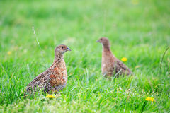 Two Pheasant Female Bird Standing In Grassland Stock Images
