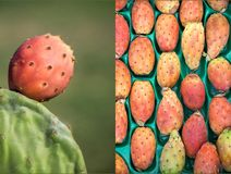 Two phothos collage of ripe prickly pear cactus fruits. Royalty Free Stock Images