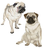Two pictures of a white pug Royalty Free Stock Photos