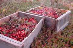 Two Picturesque Crates of Cranberries. Create of freshly dry harvested cranberries Royalty Free Stock Photos