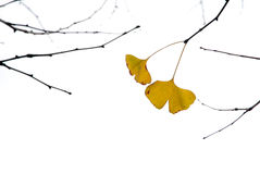 Two pieces of ginkgo leaves stock photos