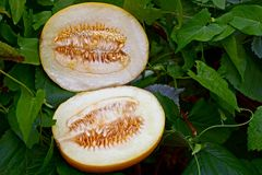 Two pieces of ripe melon lie in greenery and leaves of plants Royalty Free Stock Photography