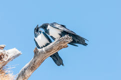 Two pied crows, Corvus albus, on dead tree branch, interacting Stock Photography