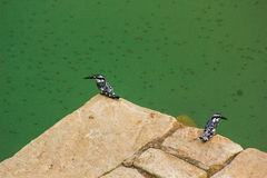 Two Pied kingfisher Stock Photo