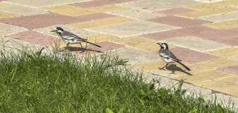 Two pied wagtails (Motacilla alba), walk one behind the other Stock Photo
