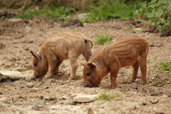 Two pig Stock Photo
