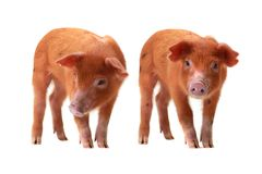 Two pig. Two red pig on a white background Stock Image