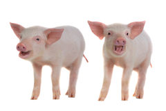 Two pig Stock Images