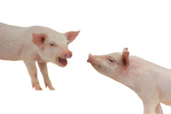 Two pig Royalty Free Stock Images