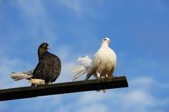Two pigeon Stock Photos