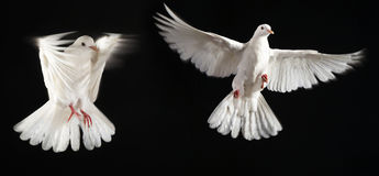 Two pigeon fly together Stock Image