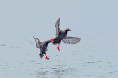 Two pigeon guillemot fly just above water. Stock Image