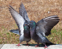 Two pigeon kissing. By inter locking their beaks Royalty Free Stock Photos