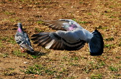 Two pigeon. S in nature one flying Stock Images